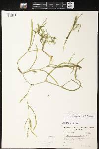 Potamogeton zosteriformis image