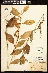 Image of Lycopus x sherardii