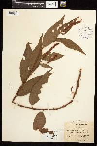Persicaria pensylvanica image