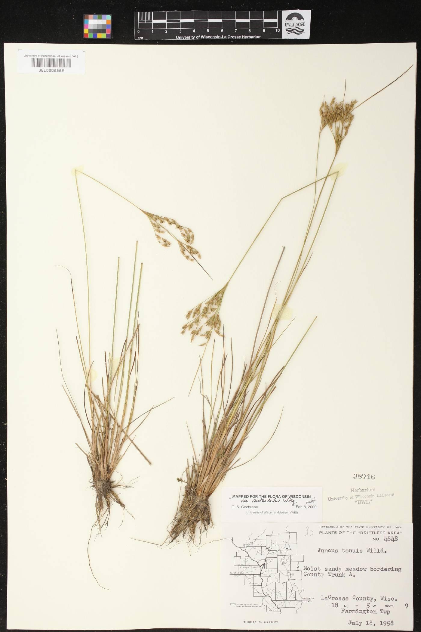 Juncus anthelatus image