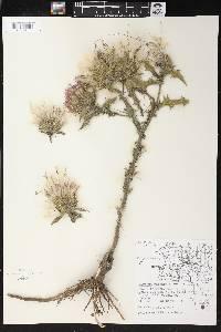 Cirsium vulgare image