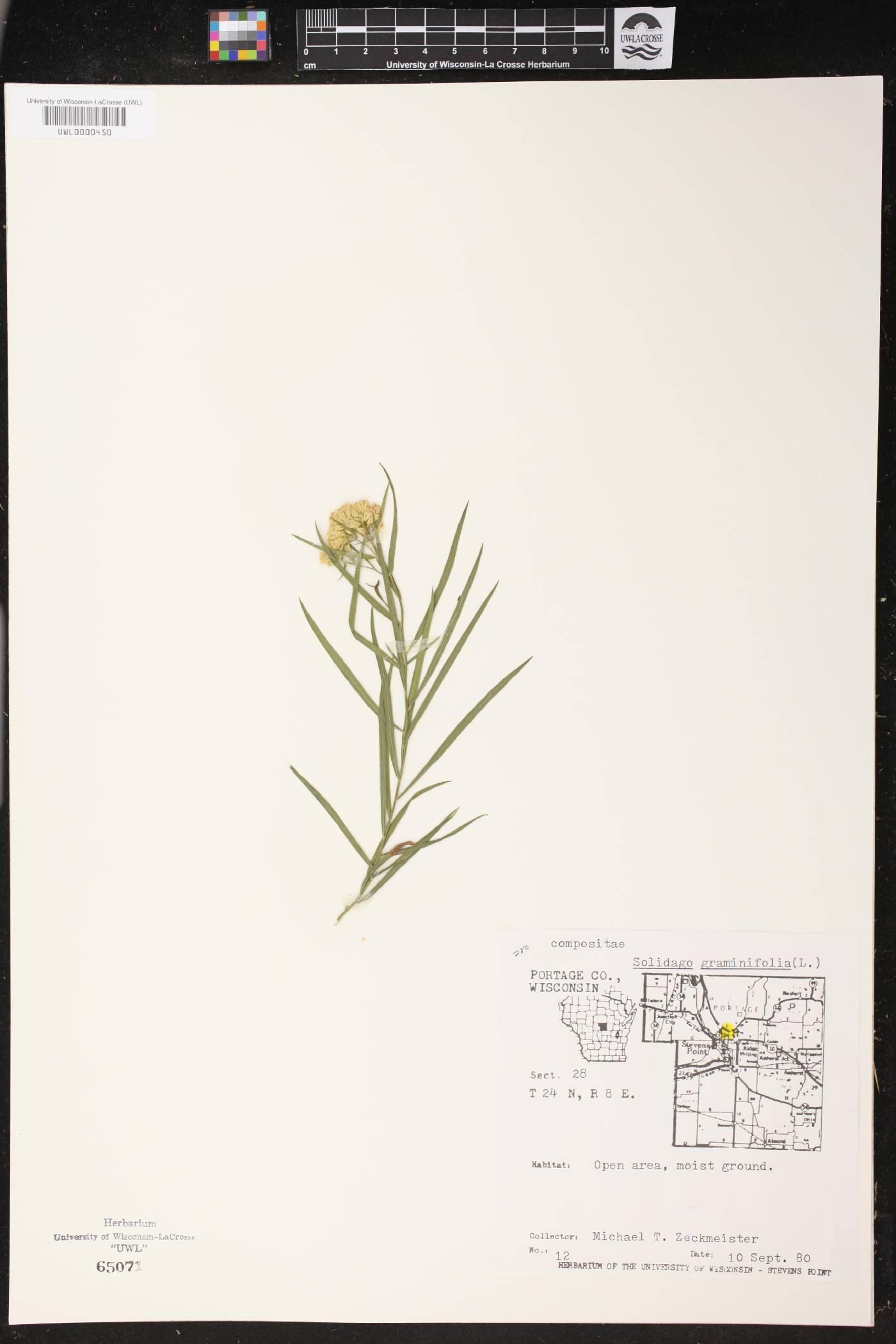 Euthamia graminifolia image