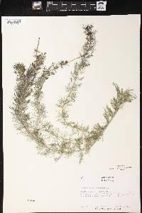 Myriophyllum spicatum image
