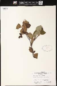 Alnus incana subsp. rugosa image