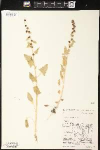Image of Chenopodium capitatum