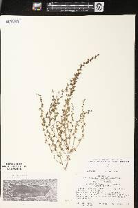 Veronica peregrina subsp. peregrina image