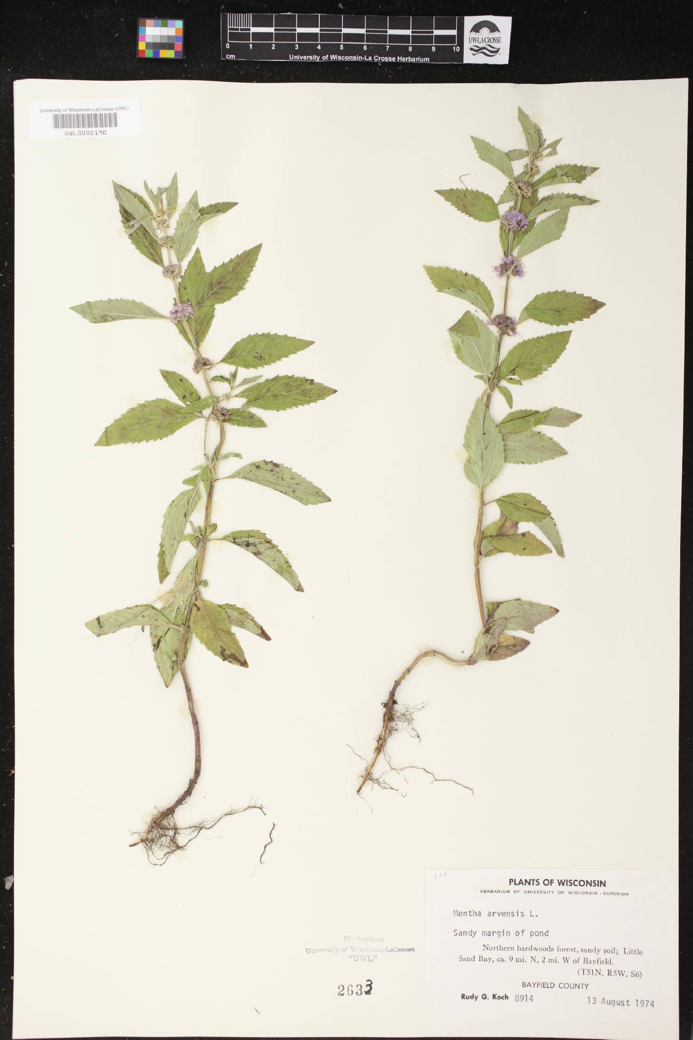 Mentha canadensis image