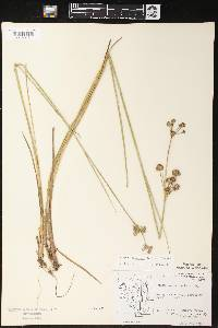 Juncus canadensis image