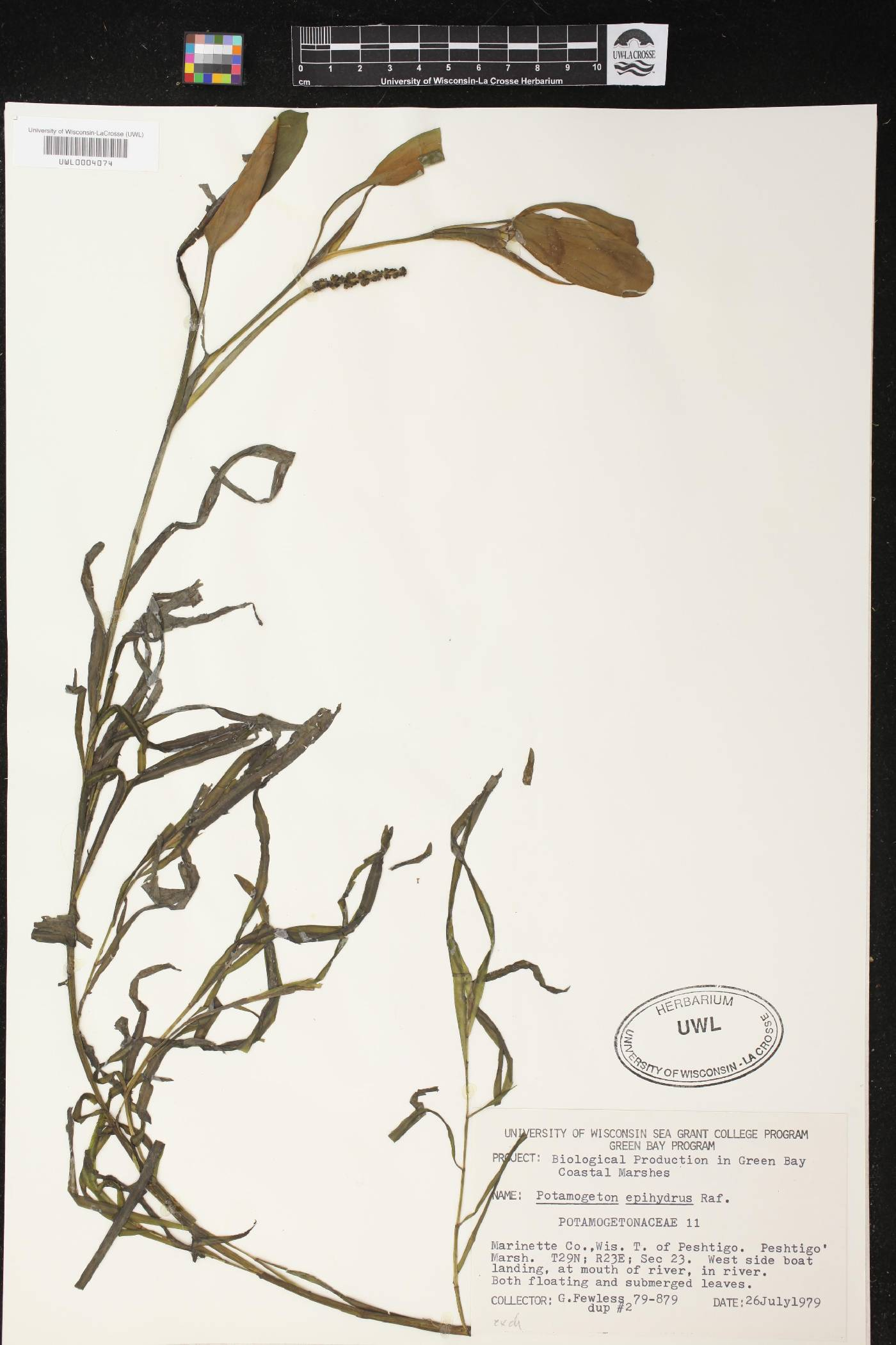 Potamogeton epihydrus image