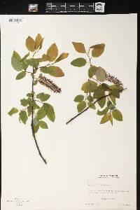 Salix pyrifolia image