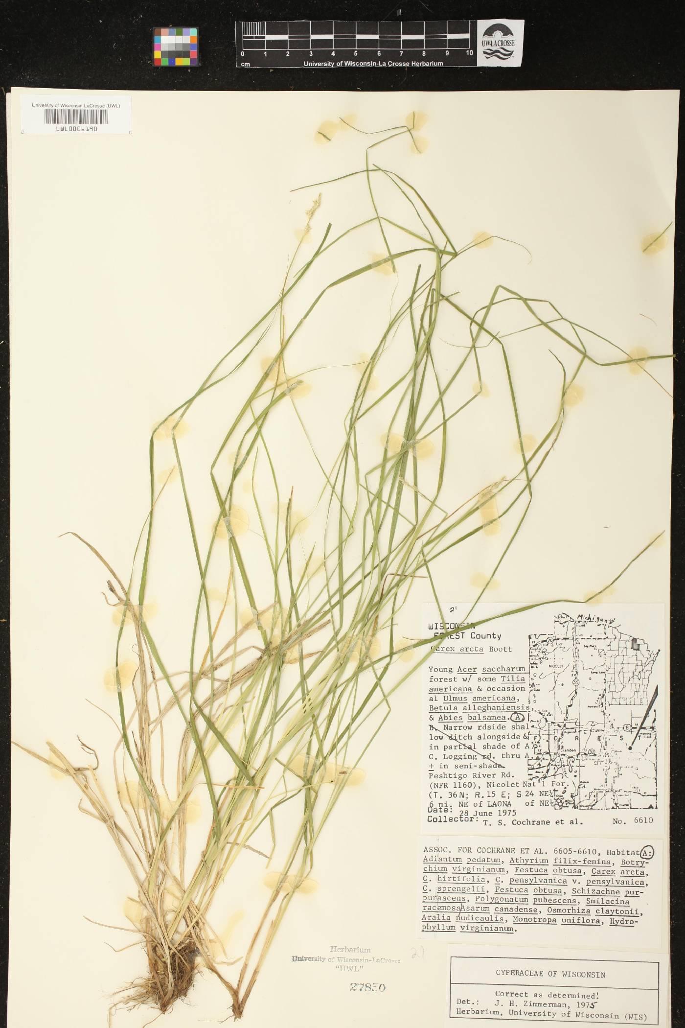 Carex arcta image