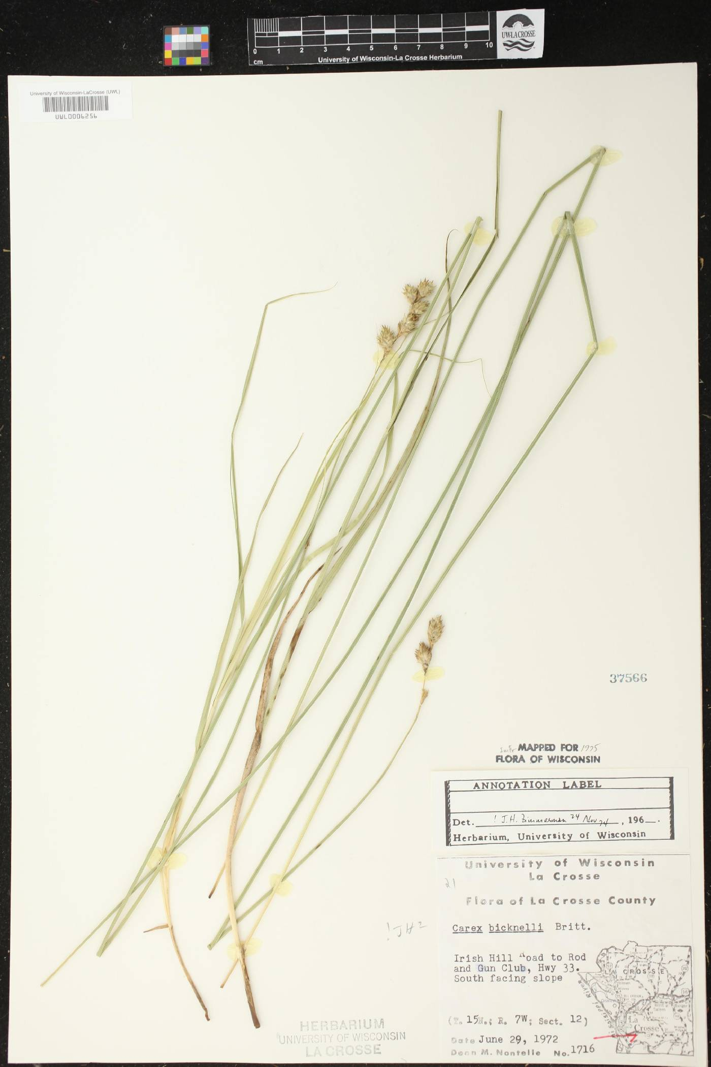 Carex bicknellii image