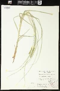 Carex vulpinoidea image
