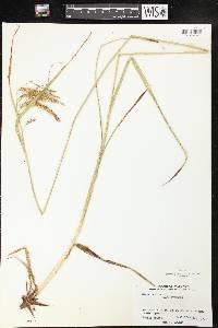 Carex gynandra image