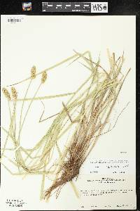Carex cristatella image