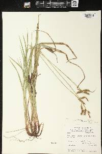 Carex castanea image