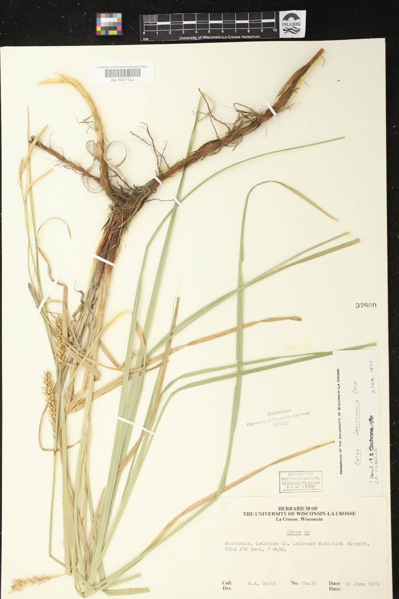 Carex laeviconica image