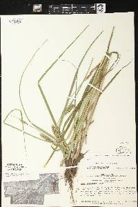Carex laeviconica image