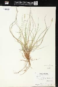 Carex pensylvanica image