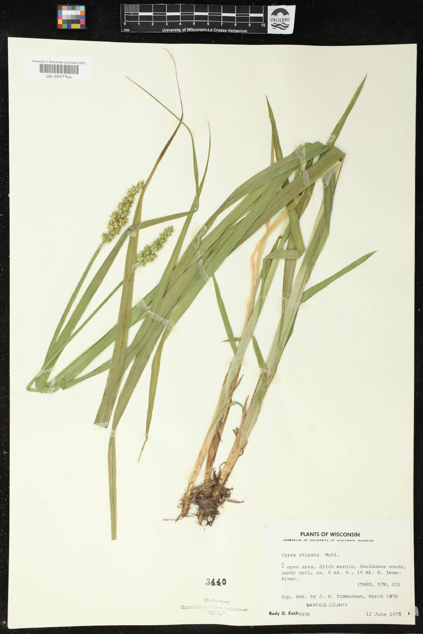 Carex stipata image