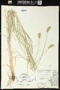 Carex tribuloides image
