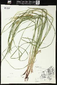 Carex tuckermanii image
