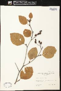 Alnus viridis image
