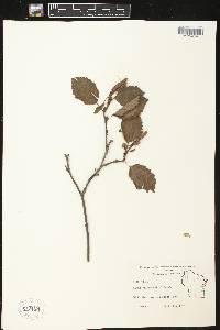 Alnus viridis subsp. crispa image