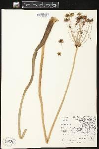 Butomus umbellatus image