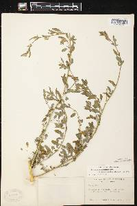 Image of Chenopodium strictum