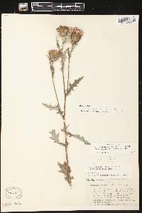 Image of Cirsium discolor x c. muticum