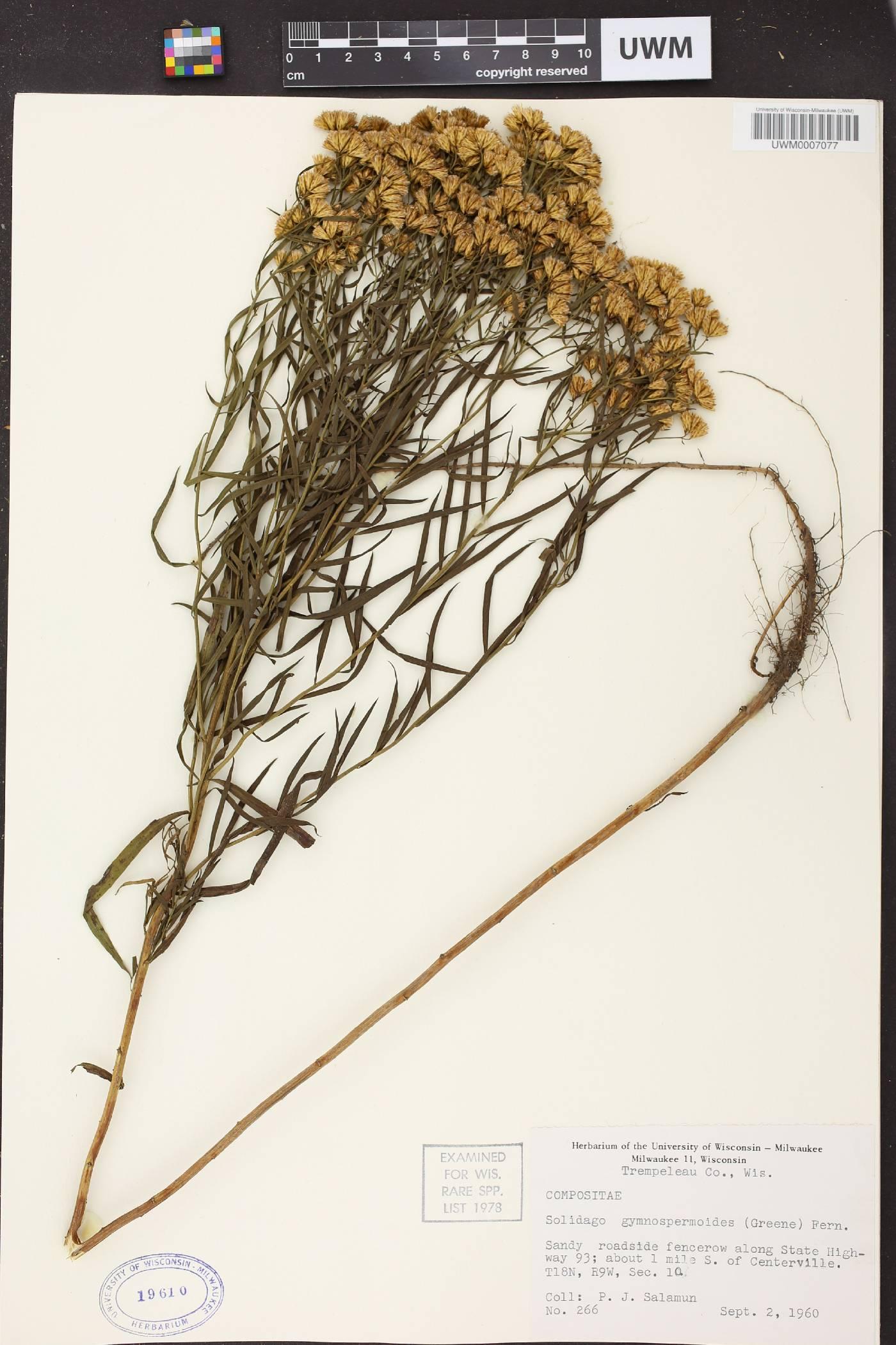 Euthamia gymnospermoides image