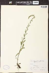 Solidago nemoralis subsp. nemoralis image