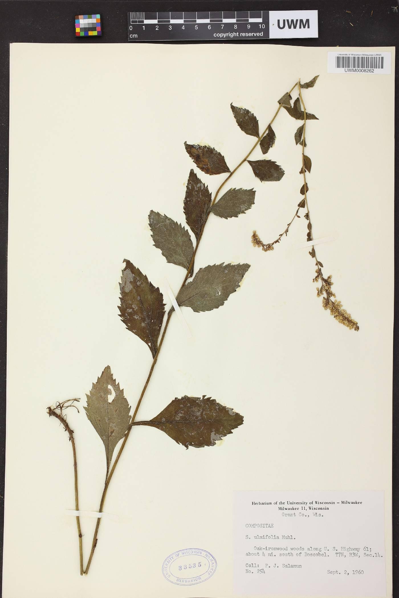 Solidago ulmifolia var. ulmifolia image