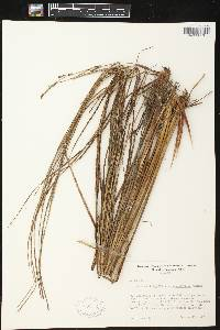 Image of Carex aquatilis var. substricta