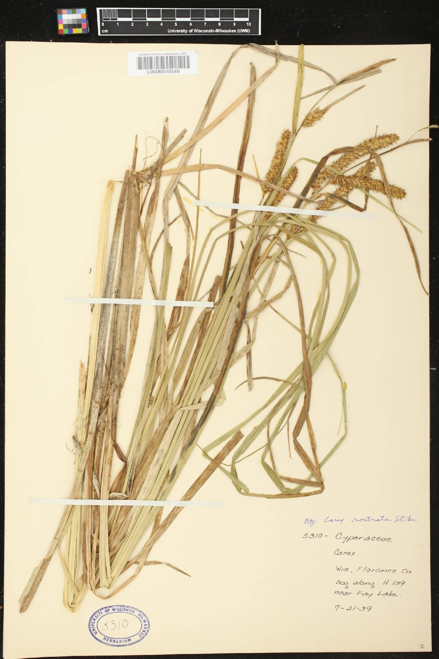 Carex rostrata image