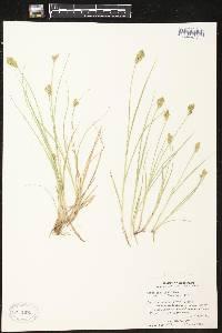 Carex crawfordii image