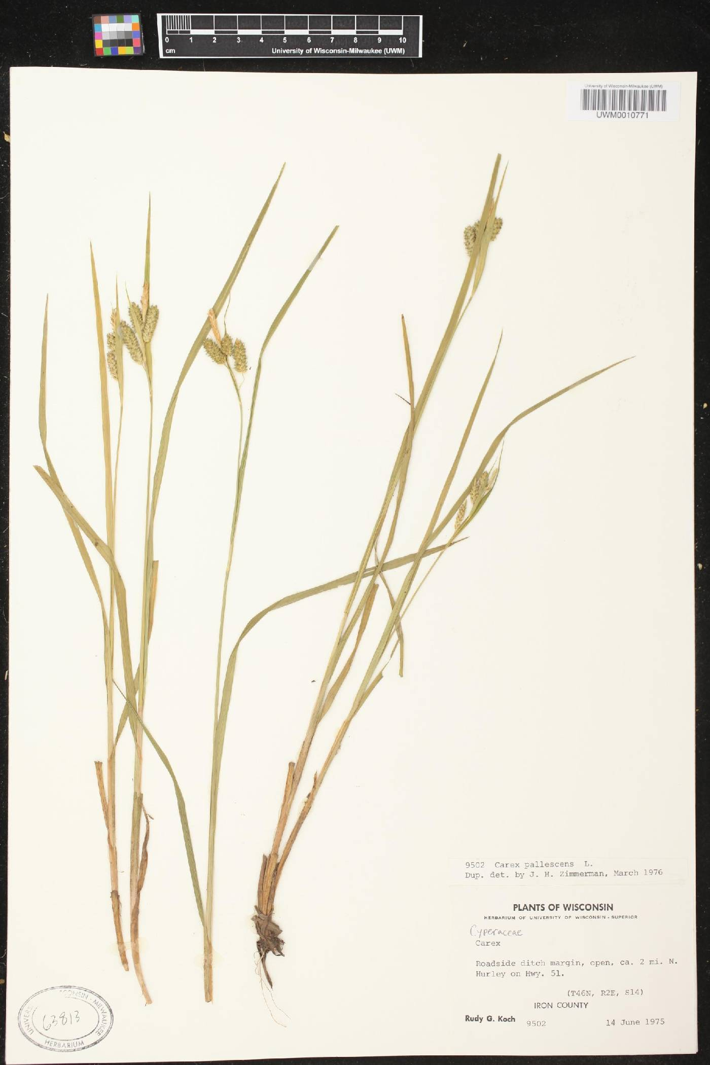 Carex pallescens image
