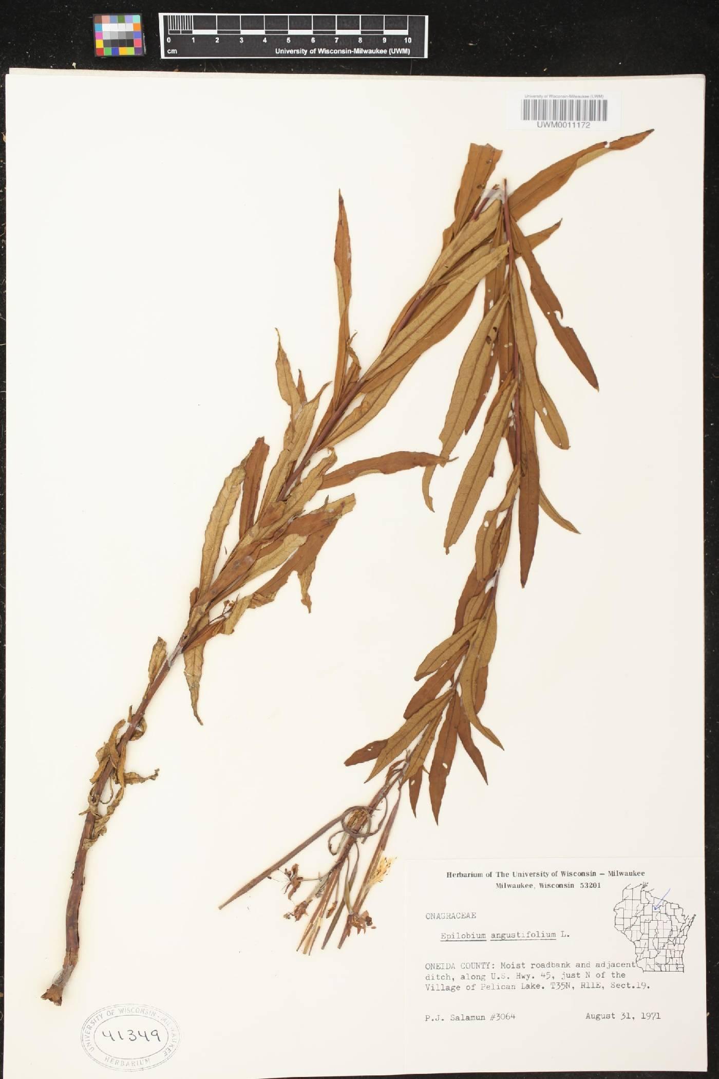 Chamerion angustifolium image