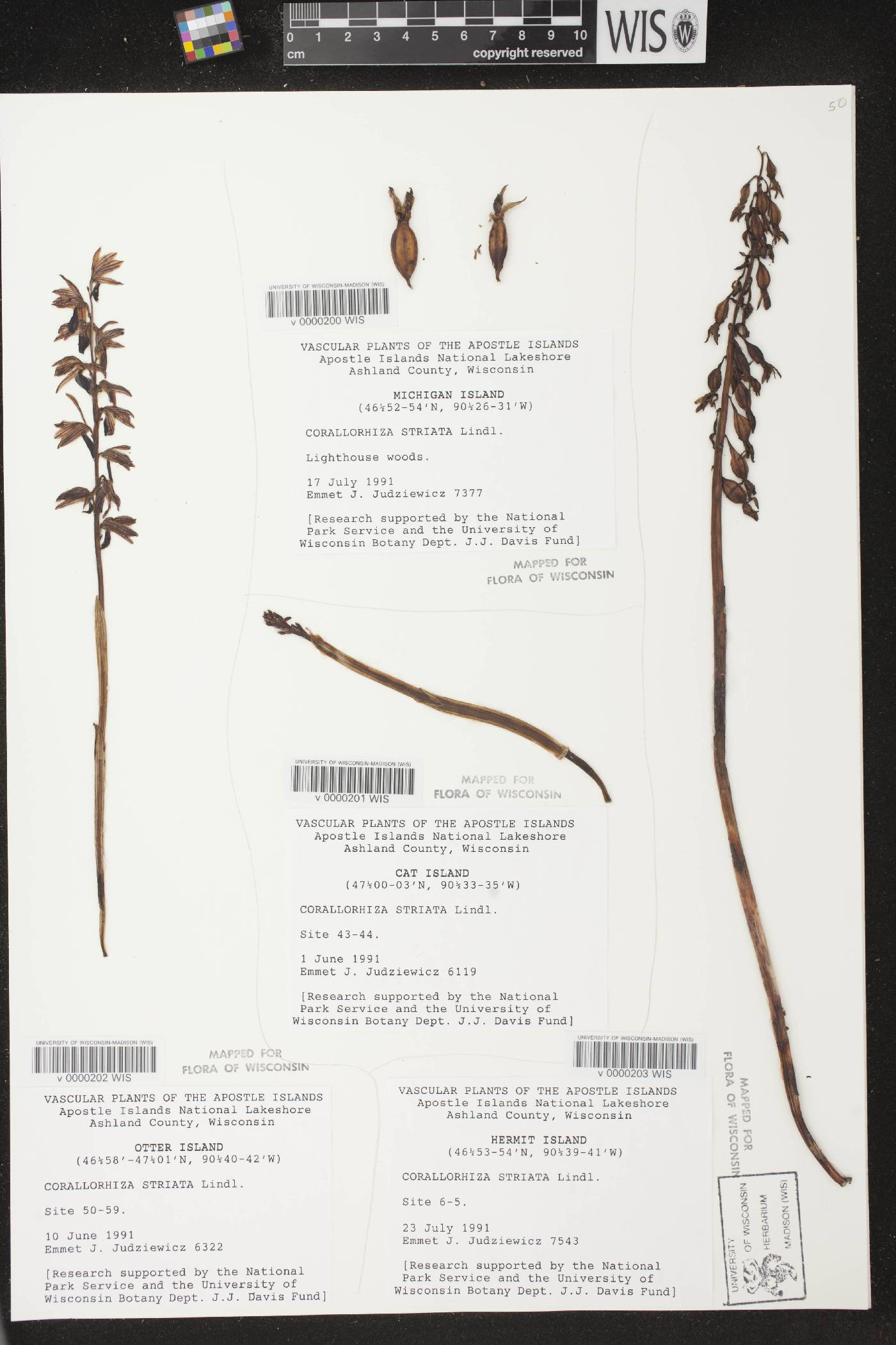 Corallorhiza striata image