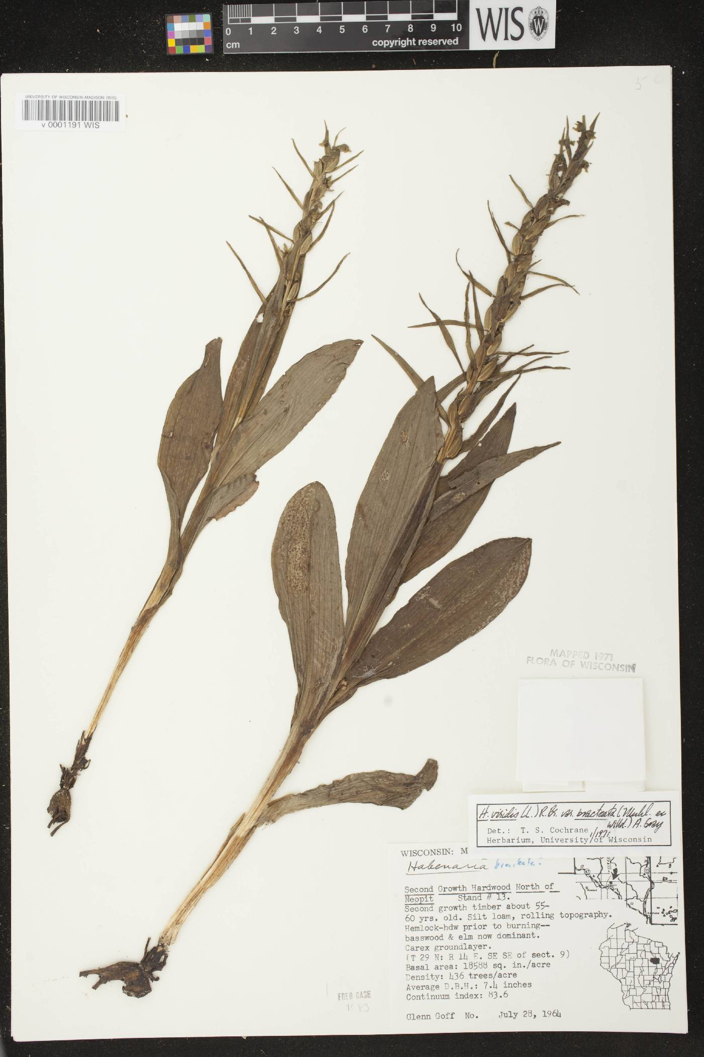 Coeloglossum viride var. virescens image
