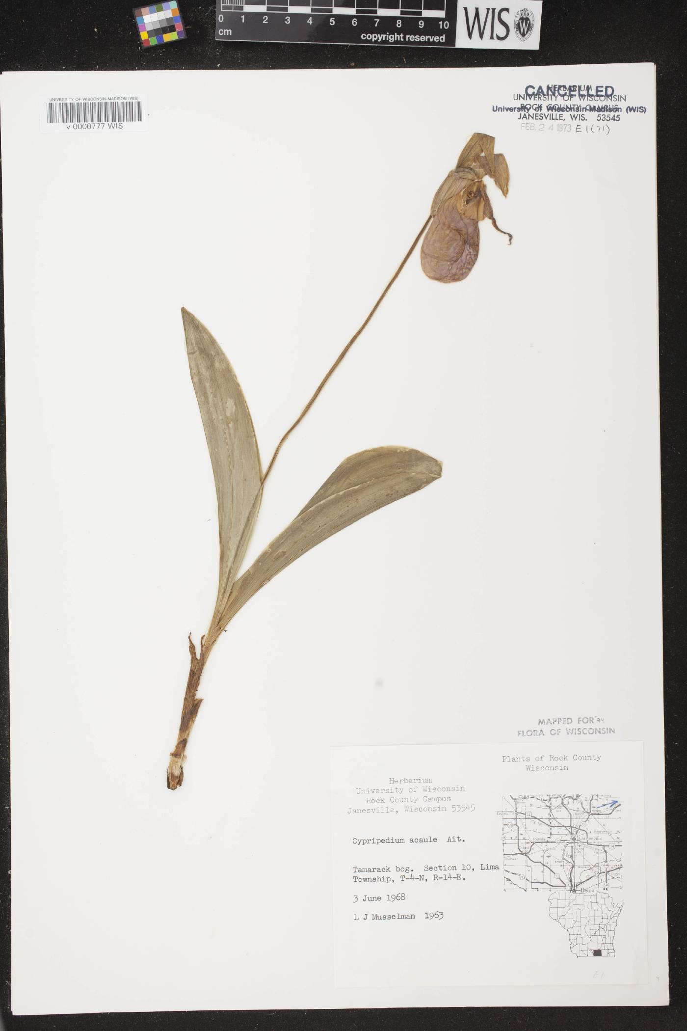 Cypripedium acaule image