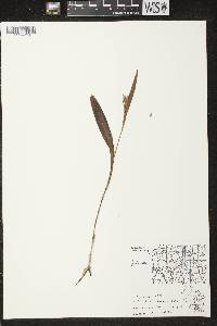 Image of Platanthera