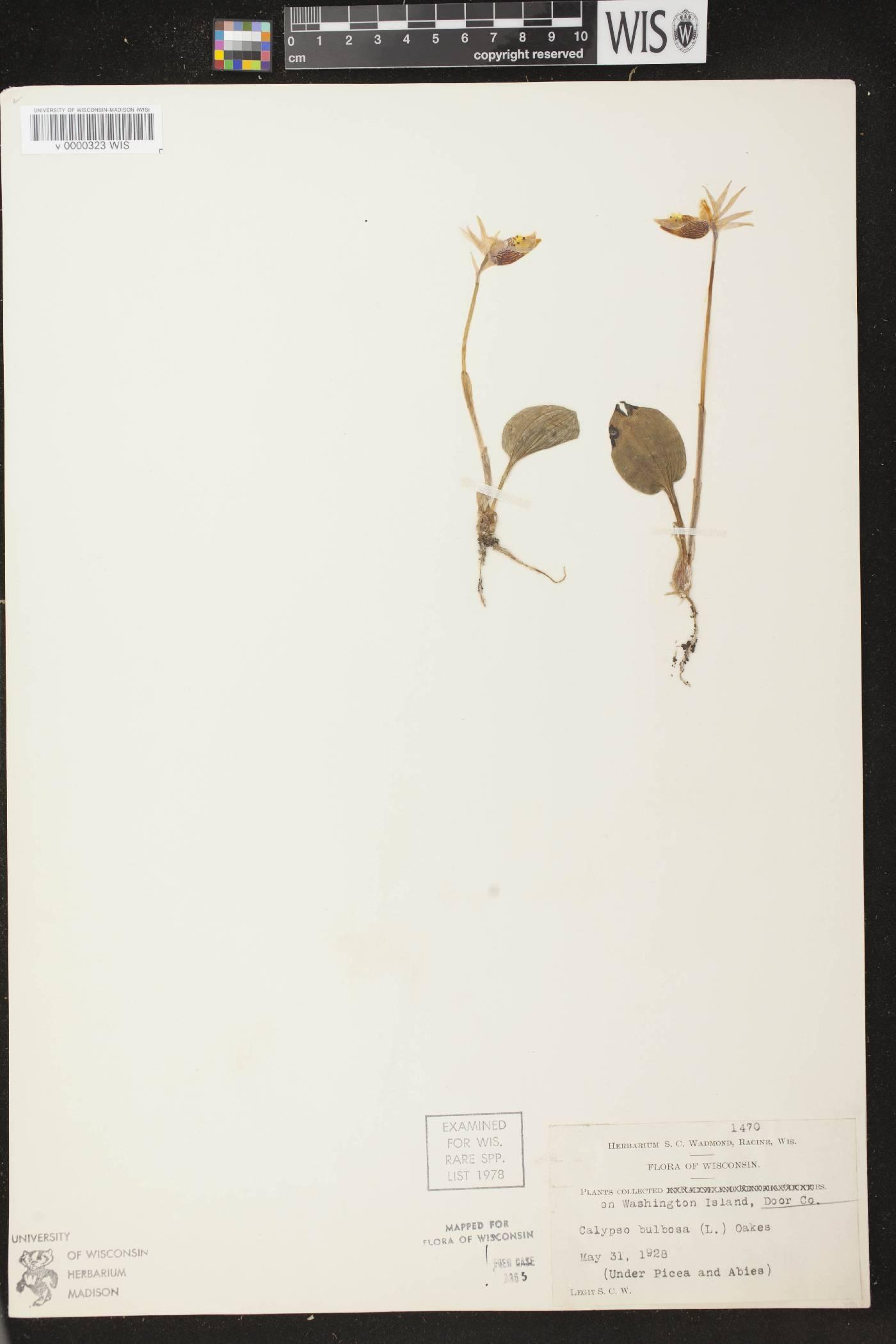 Calypso bulbosa var. americana image