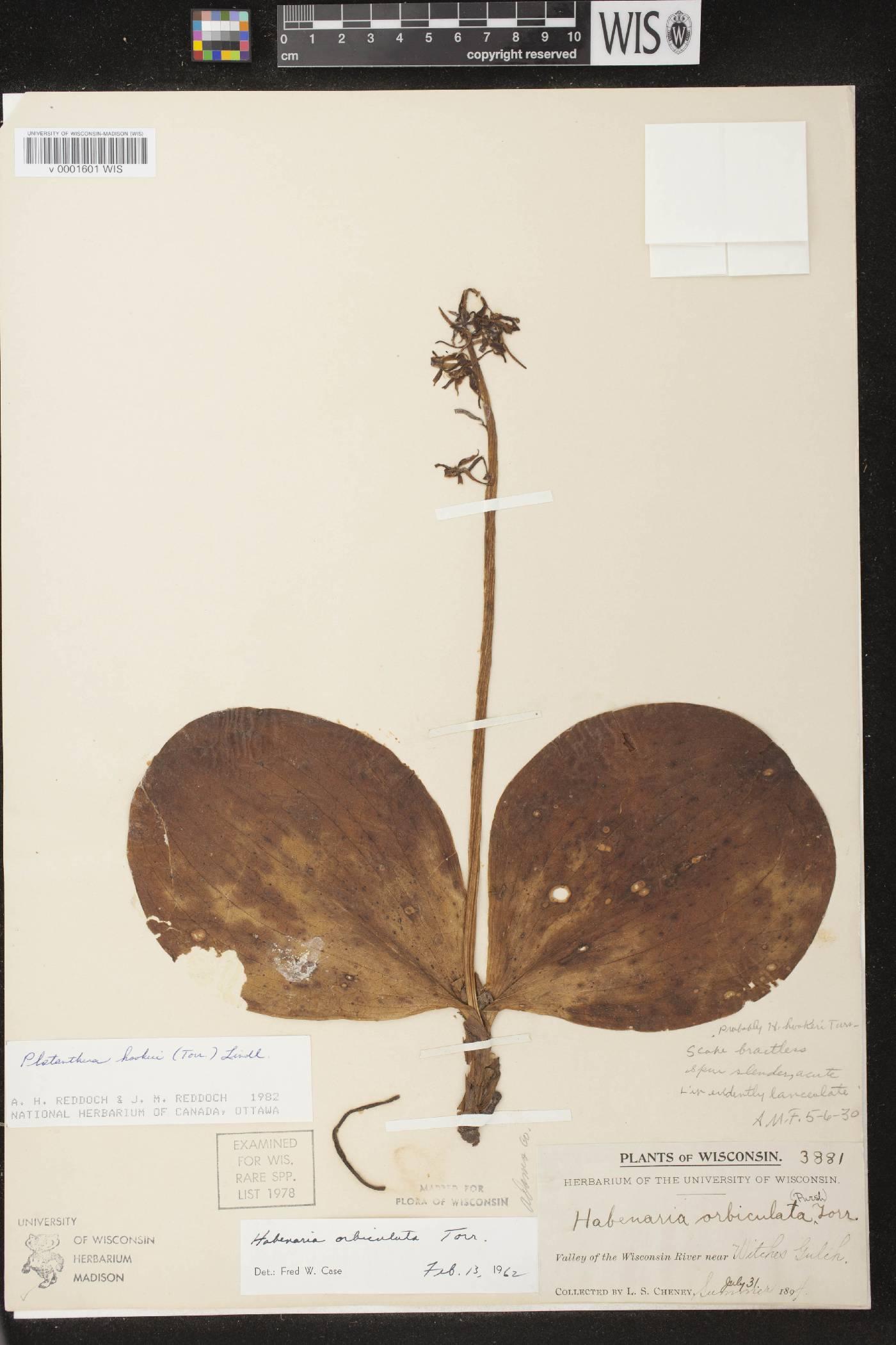 Platanthera hookeri image