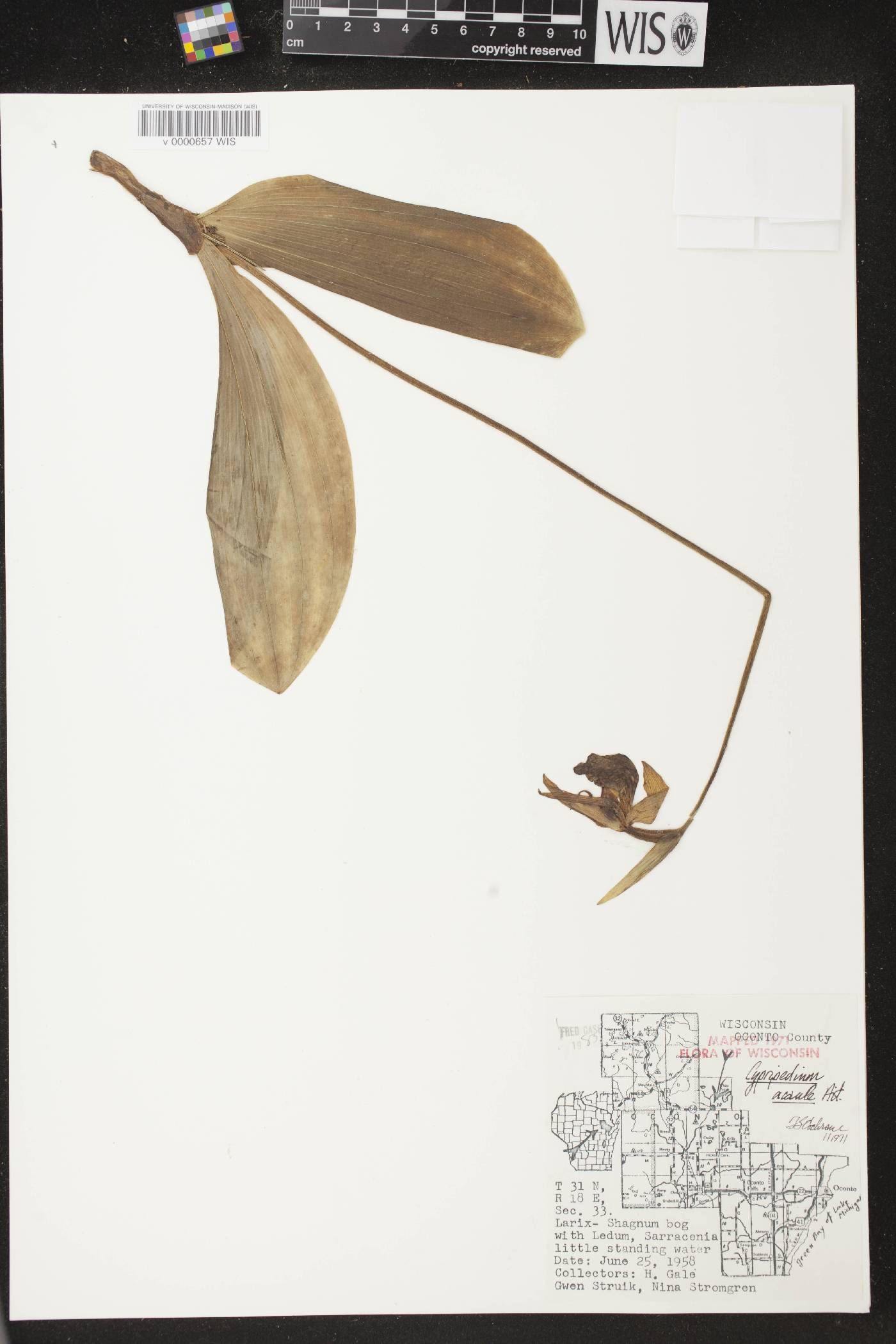 Cypripedium acaule image