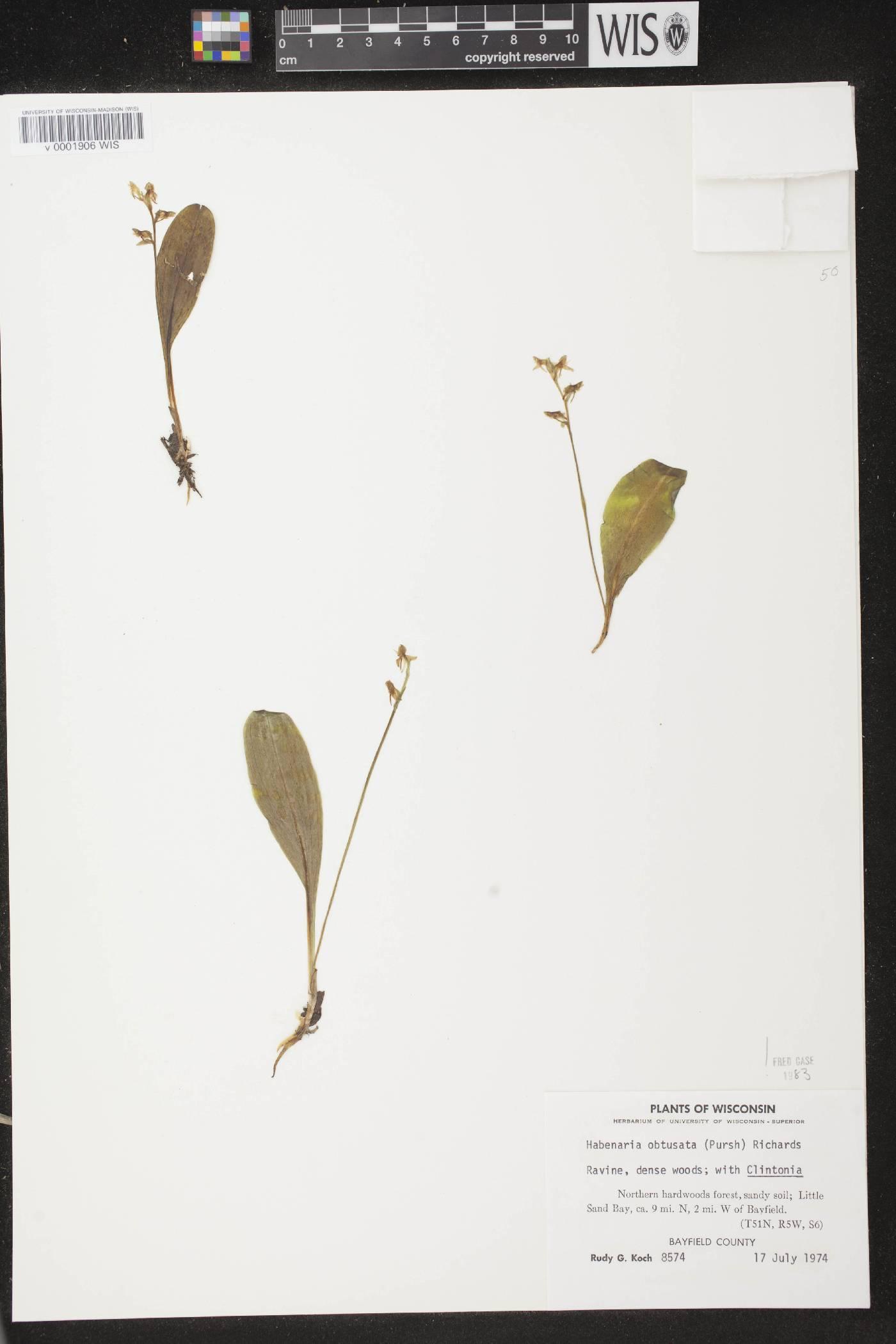 Platanthera obtusata image