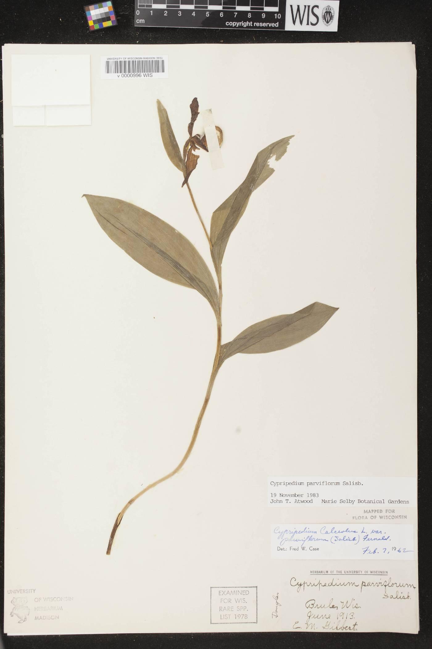 Cypripedium parviflorum var. makasin image