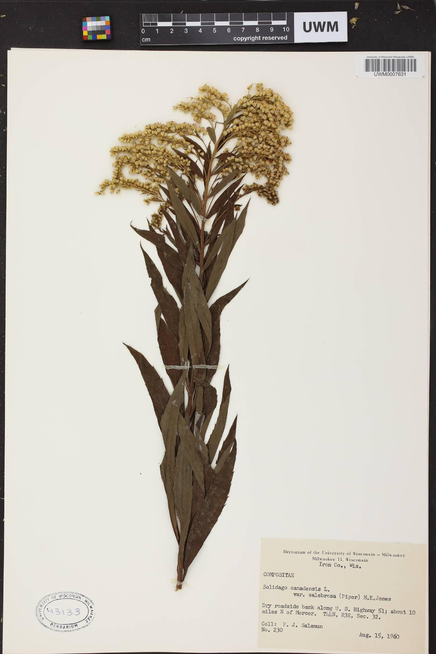 Solidago lepida subsp. lepida var. salebrosa image