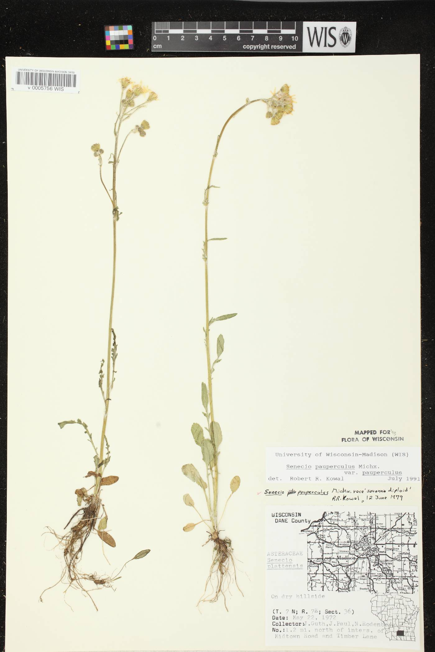 Packera paupercula var. paupercula image